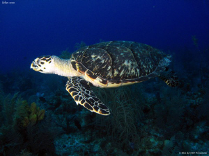 One more turtle... Turneff atoll. Canon Ixus 980 &amp; Inon D... by Bea &amp; Stef Primatesta 